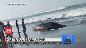 VIDEO: Hiu Tutul Terdampar di Pantai Tasikmalaya