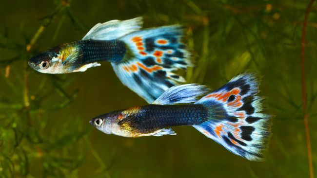 3 Manfaat Pelihara Ikan Hias Seperti Cupang Dan Guppy