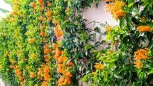7 Jenis Tanaman Rambat yang Berbunga
