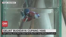 VIDEO: Geliat Budidaya Ikan Cupang Hias