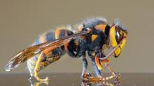 Peneliti AS Temukan Sarang Lebah Raksasa yang Mematikan