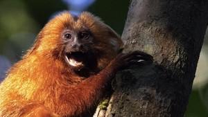 Ilmuwan Ciptakan Makhluk Hibrida, Manusia dan Monyet