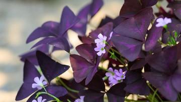 Uniknya Bunga Kupu Kupu Tanaman Hias Murah Yang Percantik Rumah Bunda