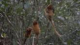 Brasil membangun koridor ekologi yang menghubungkan dua hutan untuk mencegah punahnya monyet Brazil.