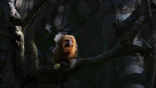 FOTO: Jembatan Penghubung Cegah Monyet Brasil Punah