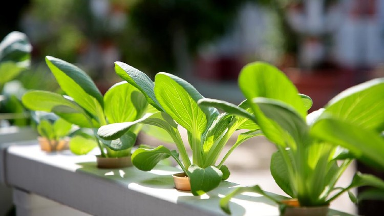 Leafy vegetable growing using outdoor hydroponic method.