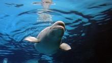 Senyum Ceria Dua Paus Beluga 'Pulang Kampung' ke Islandia