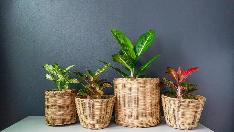 Aglaonema  or Chinese Erergreen in wicker baskets