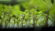 Mengenal Microgreen, Sayuran Mini yang Bisa Ditanam di Rumah