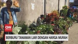 VIDEO: Berburu Tanaman Liar Dengan Harga Murah