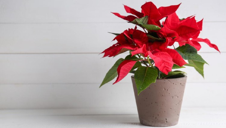 Christmas flower poinsettia on white table