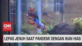 VIDEO: Lepas Jenuh Saat Pandemi Dengan Ikan Hias