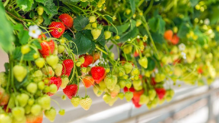 Closeup of many ripening strawberries grown without soil at an ergonomic picking height in a modern specialized Dutch greenhouse.