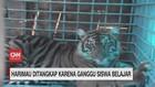 VIDEO: Harimau Ditangkap Karena Ganggu Siswa Belajar