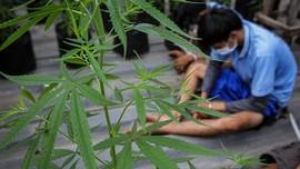 Respons PBB, Politikus PKS Dorong Penelitian Ganja Medis