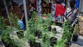 Warga Tasikmalaya Tanam Ganja di Polybag Ditangkap BNN