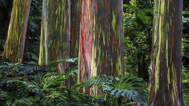 Hutan hujan Indonesia ternyata memiliki kekayaan alam yang indah, salah satunya pohon eucalyptus pelangi.