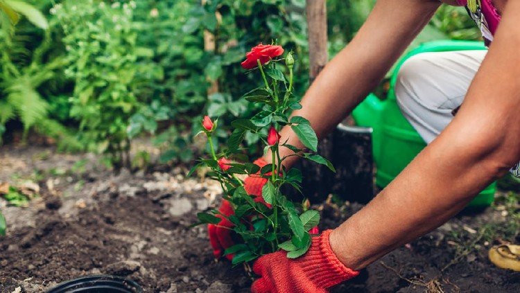 Woman gardener transplanting roses flowers from pot into wet soil after watering it with watering can. Summer garden work.