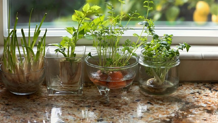 Glass dishes with herbs and plants growing in indoor water garden at granite kitchen counter near window.