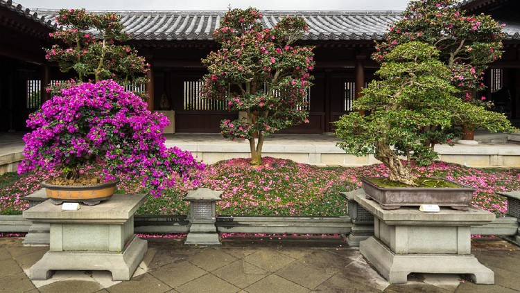 Flowering bougainvillea bonsai trees at the Chi Lin Nunnery, Hong Kong, Diamond Hill
