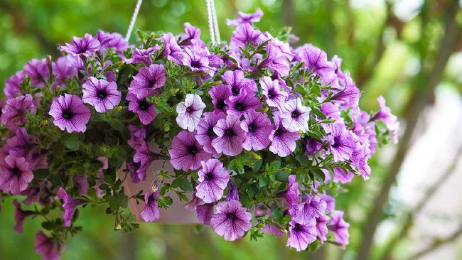 Alih-alih membutuhkan bidang yang luas, tanaman hias gantung ini hanya membutuhkan media tanam pot dan menyulap kebun Anda menjadi lebih cantik dan asri.