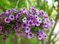 10 Tanaman Hias Gantung Outdoor agar Taman Lebih Asri