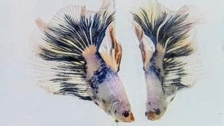 FOTO: Deretan Ikan Cupang Cantik Berlaga dalam Kompetisi
