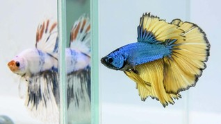Rekomendasi Ikan Hias yang Murah, Mulai Rp3 Ribuan