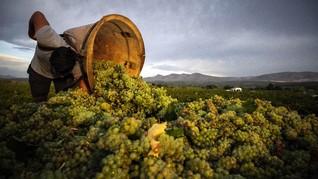 FOTO: Pahit Panen Anggur Akibat Pandemi dan Perubahan Iklim