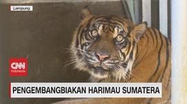 VIDEO: Pengembangbiakan Harimau Sumatera