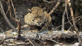 FOTO: Satwa Liar Korban Kebakaran Taman Nasional di Brazil