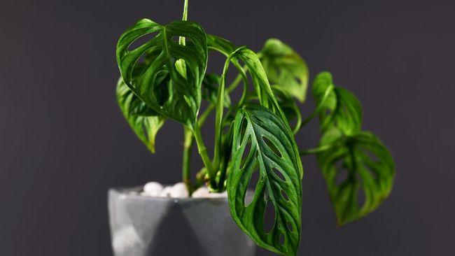 Tanaman hias Monstera adansonii variegated yang dijuluki 'janda bolong' dibanderol dengan harga selangit. Mengapa demikian?