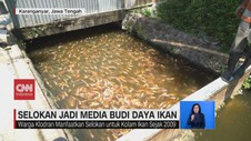 VIDEO: Budi Daya Ikan Nila di Selokan