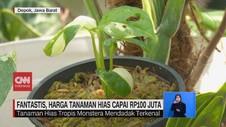 VIDEO: Harga Tanaman Hias 'Janda Bolong' Capai Rp100 Juta