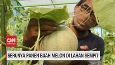 VIDEO: Serunya Panen Buah Melon di Lahan Sempit