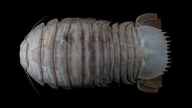 Fakta Kecoak Raksasa, Spesies Hewan Laut Baru di Selatan Jawa