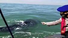 VIDEO: Kawanan Hiu Tutul Yang Berkeliaran di Laut Pasuruan