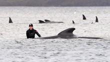 FOTO: Upaya Penyelamatan Paus Pilot Terdampar di Australia