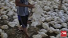 FOTO: Nasib Peternakan Ayam Potong Dihantam Pandemi