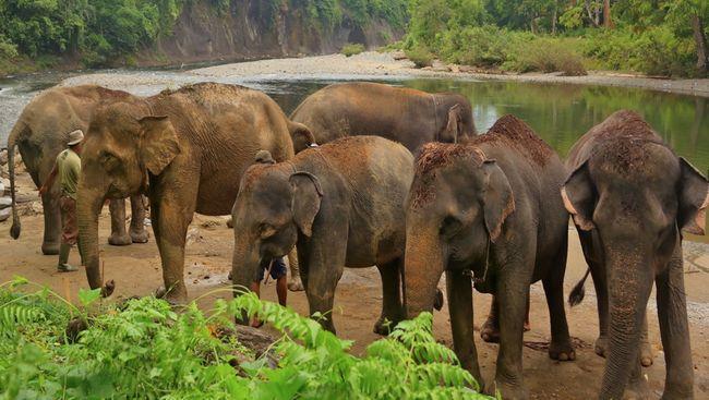 Menapakkan kaki di Tangkahan, pengunjung akan disambut dengan udara segar, air sungai mengalir jernih, dan kawanan gajah Sumatera yang jadi ikon Tangkahan.