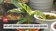 VIDEO: Hati-hati Demam Tanaman Hias Janda Bolong