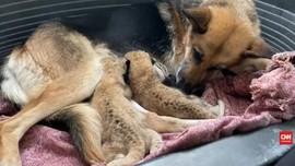 VIDEO: Ditinggal Induknya, 2 Bayi Singa Menyusu ke Seekor Anj