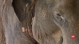 VIDEO: Kehilangan Turis, Konservasi Gajah Myanmar Terancam