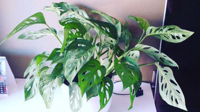 Menurut pegiat tanaman hias Noldy Topan, tanaman hias paling laris hingga diekspor ke luar negeri berjenis Aroid yang berasal dari keluarga Araceae. Apa saja?