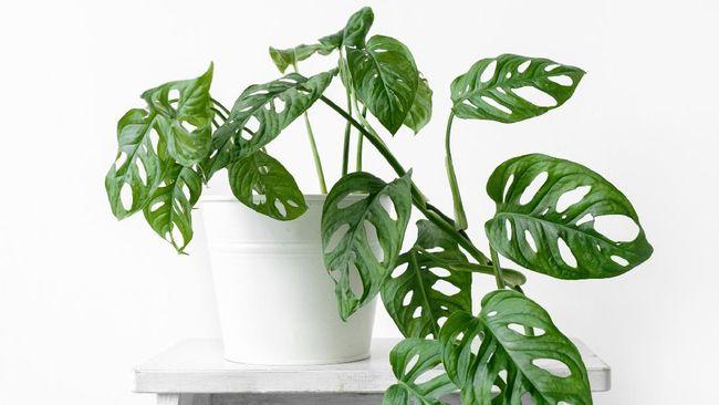 Sejak pandemi Covid-19, tren tanaman hias melambung. Sejumlah tanaman hias viral pun ramai dibicarakan karena harganya yang mahal.