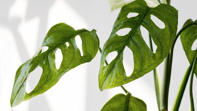 Masyarakat dinilai salah kaprah menganggap tanaman janda bolong. Tanaman hias Monstera adansonii ini bukan lah tanaman langka dan bisa didapatkan dengan mudah.