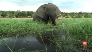 VIDEO: Puluhan Gajah Mati Mendadak, Diduga Terinfeksi Bakteri