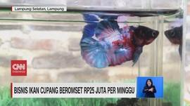 VIDEO: Bisnis Ikan Cupang Beromset Rp25 Juta per Minggu
