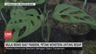 VIDEO: Petani Monstera Untung Besar saat Pandemi
