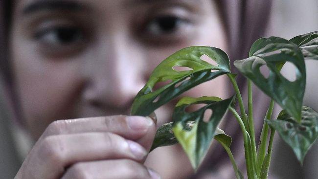 Tanaman hias Monstera termasuk tanaman yang mudah perawatannya. Namun ada beberapa trik untuk merawat janda bolong kesayangan.